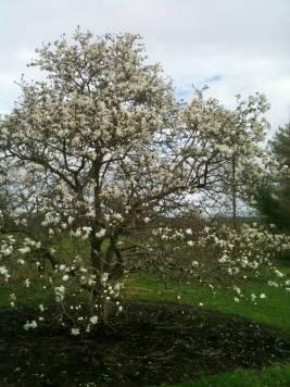 shadblow tree