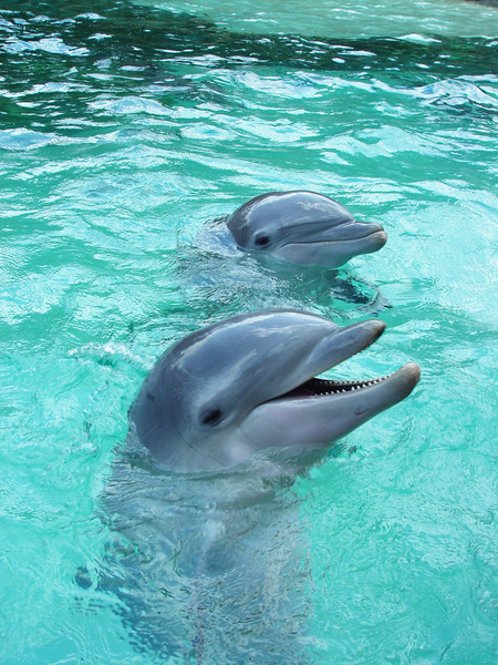 two dolphins in blue water