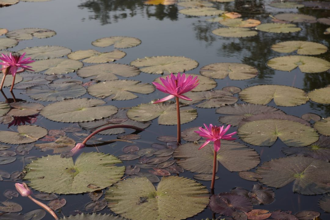 Pink water lilies on a pond in Siem Reap, Cambodia
