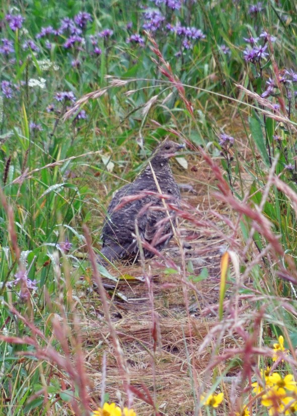 Blue grouse on the trail