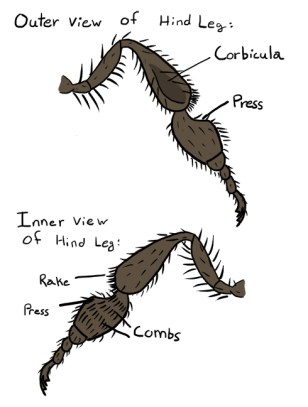 honey bee hind legs, corbicula, press, rake, and combs