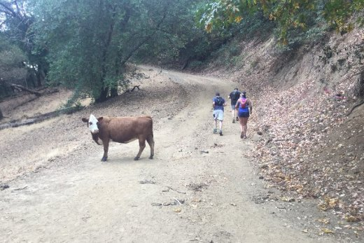 Trail runners with a cow