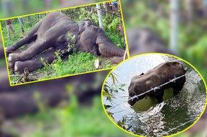 Pregnant-Elephant