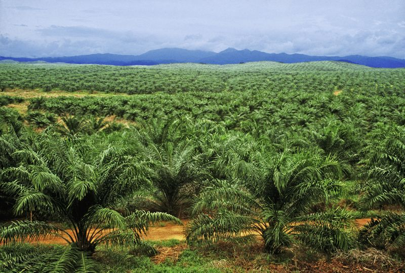 Taib includes oil palm plantations in his definition of forest to get his figures that Sarawak remains 'forested'.