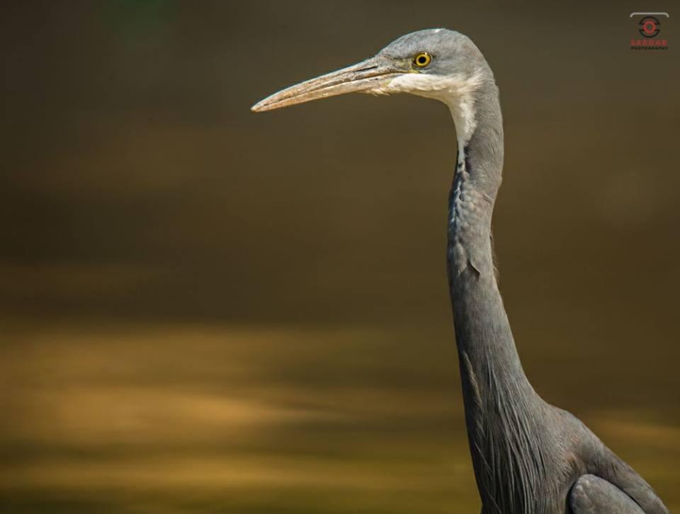 Western Reef Egret
