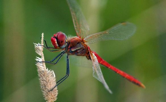 In poche parole: come si dice libellula in sardo? (di Giampaolo Cassitta)