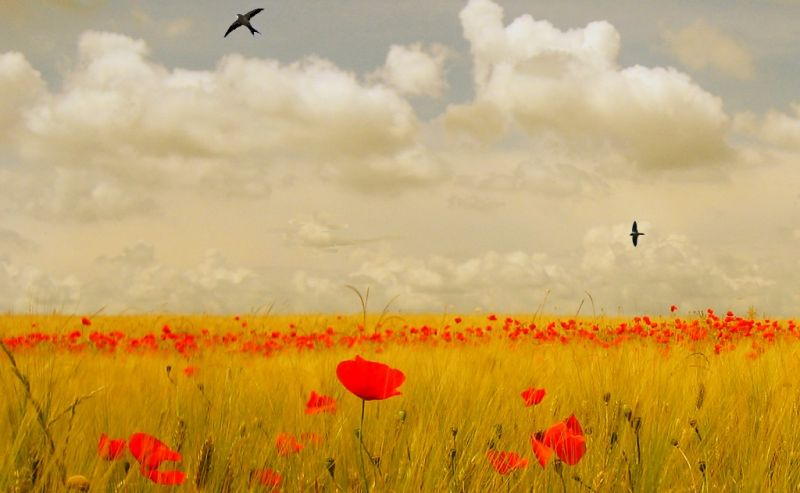 Mille papaveri rossi (di Luca Ronchi)