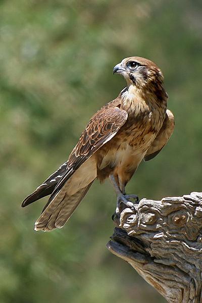 Canna o falco (di Mimmia Fresu)
