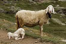 L'agnello (di Cosimo Filigheddu)