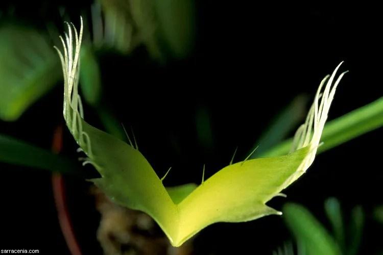 Venus Flytrap (Dionaea muscipula) trilogy. Episode two. Facts. (5/6)
