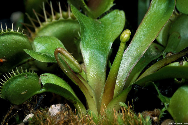The Carnivorous Plant Faq Should I Let My Venus Flytrap