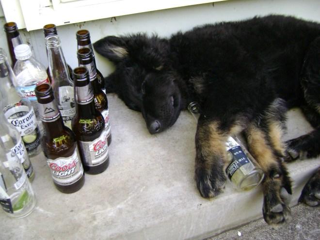Drunk German Shepherd Puppy
