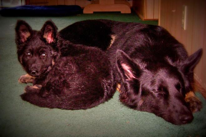 German Shepherd Puppy Cuddles