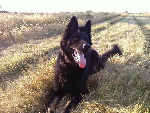 German Shepherd Dog Connor