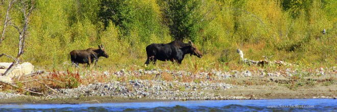 moose-cow-and-calf-snake-river-wyoming
