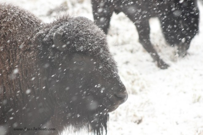 snowy-bison-eye-yellowstone-national-park