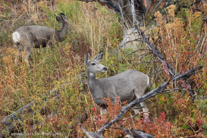 yellowstone-national-park-mule-deer