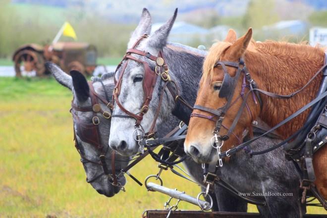 Mule & Horse Plow Team