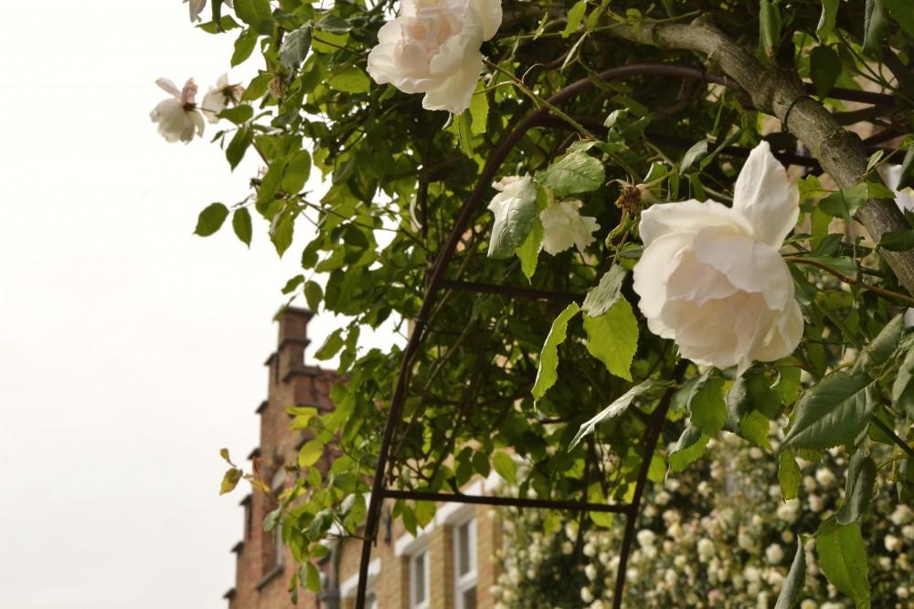 Roses in Bruges, Belgium