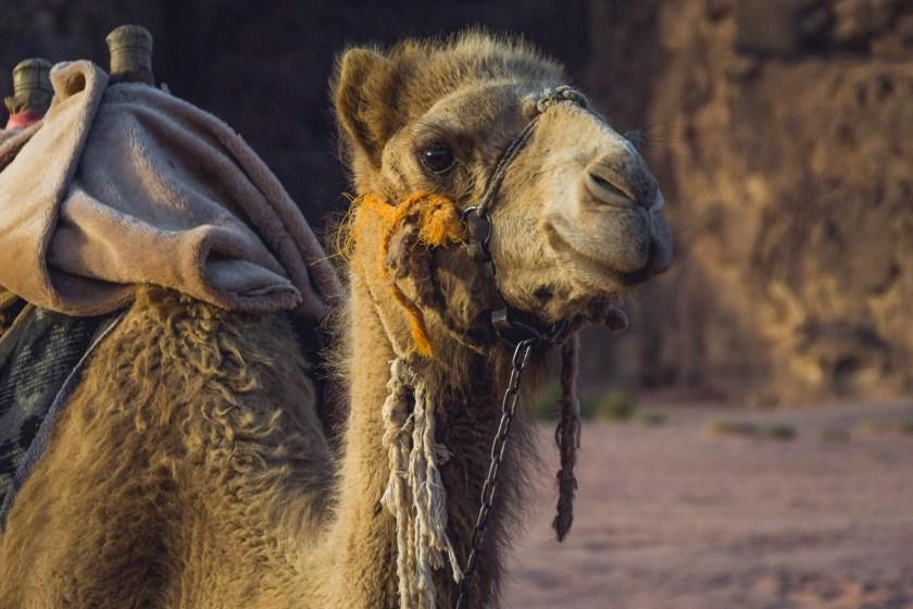 Baby Camel in Jordan