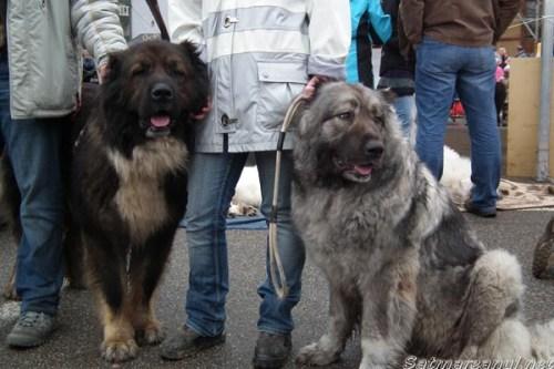 dog-show1