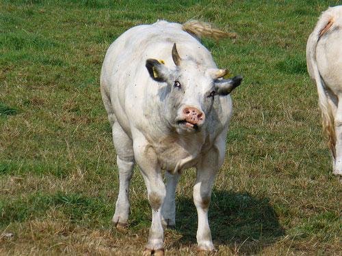 vaca-nebuna