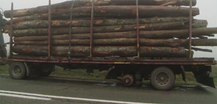Se fură lemne cu TIR-ul. Șofer amendat cu 2.000 de lei