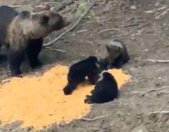 INEDIT! O ursoaică cu trei pui filmată la noi în județ (video)