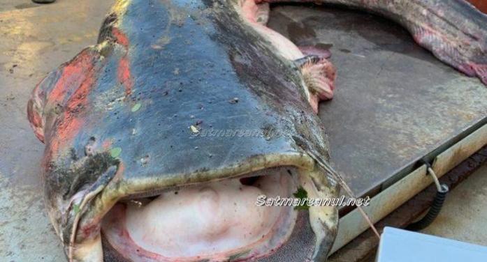Monstru de 75 de kilograme capturat azi dimineață pe Someș (galerie foto)
