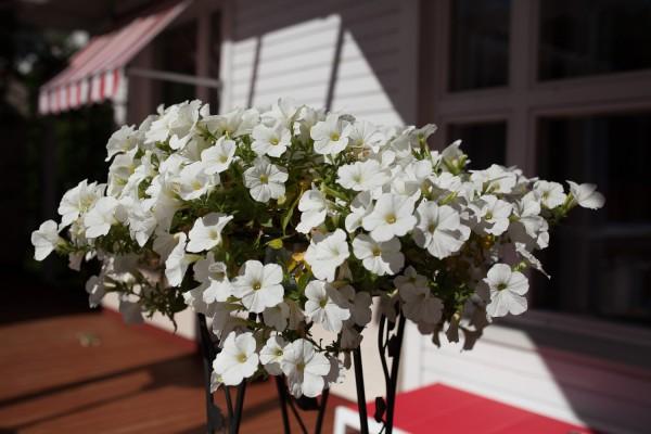 valkoiset kukat-3-2