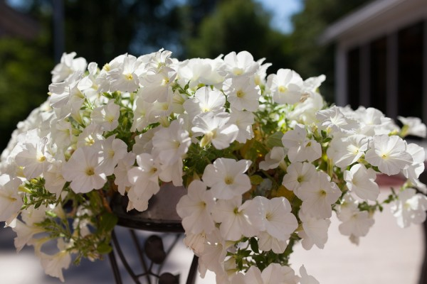 valkoiset kukat-4
