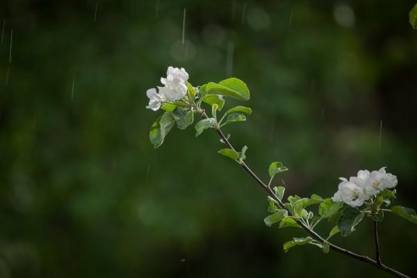 Omenapuut kukassa-13