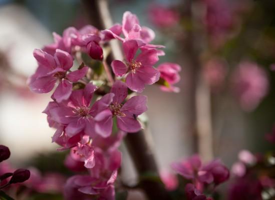 Omenapuut kukassa-6