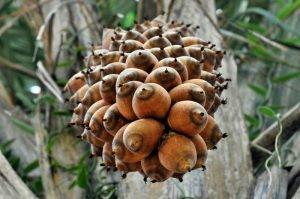 Babassu fruit