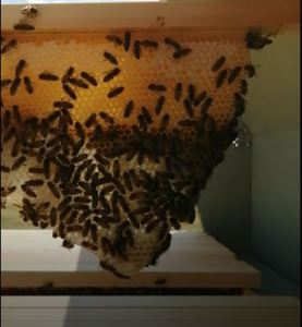 Comb on bar of Top Bar hive after 10 days