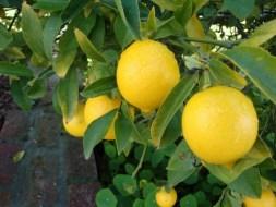 Menanam Dan Budidaya Jeruk Lemon