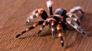 10 Reason Why Brazilian Wandering Spider can Make You Hate Spiders More