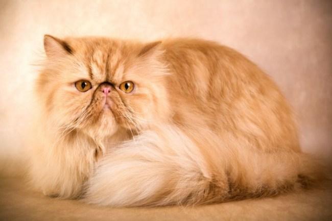 jenis jenis kucing persia