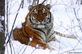 Gambar Harimau dari Berbagai Jenis