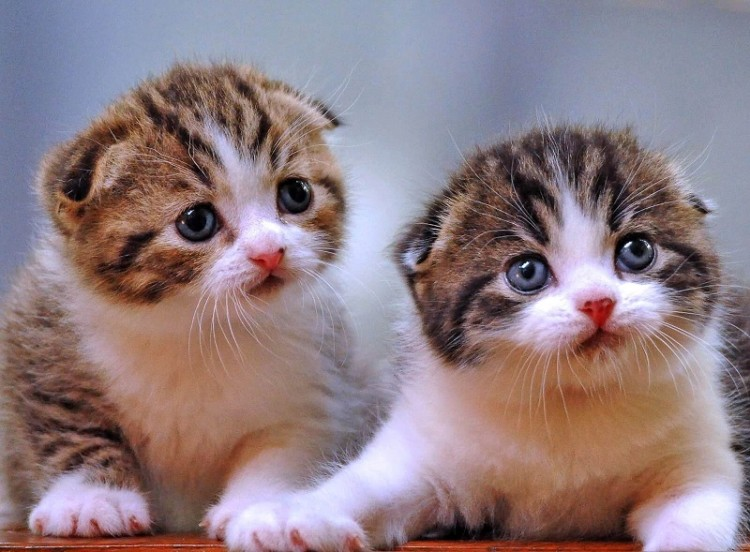 Harga Kucing Anggora Kuning Harga Yos