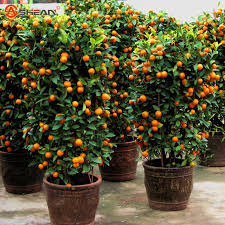 Orange Tree Plant