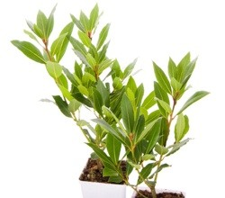 Tejpata Plant
