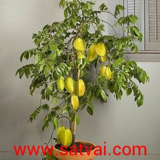 Star Fruit Plant Hybrid