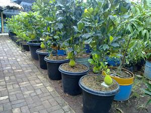 hybrid jackfruit