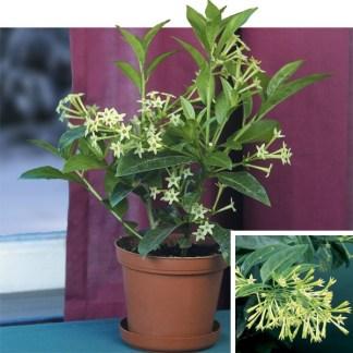 hasnahena flower plant