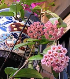 hoya flower plant