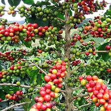 Coffee Tree Plant