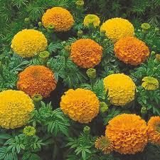 Hybrid Gada Plant