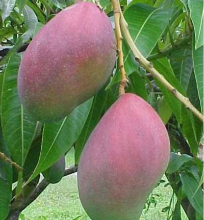 palmar mango tree