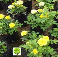 Rose 3 in 1
